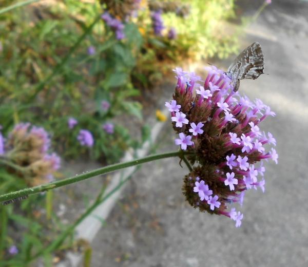 -Mildéfis n°225- un papillon