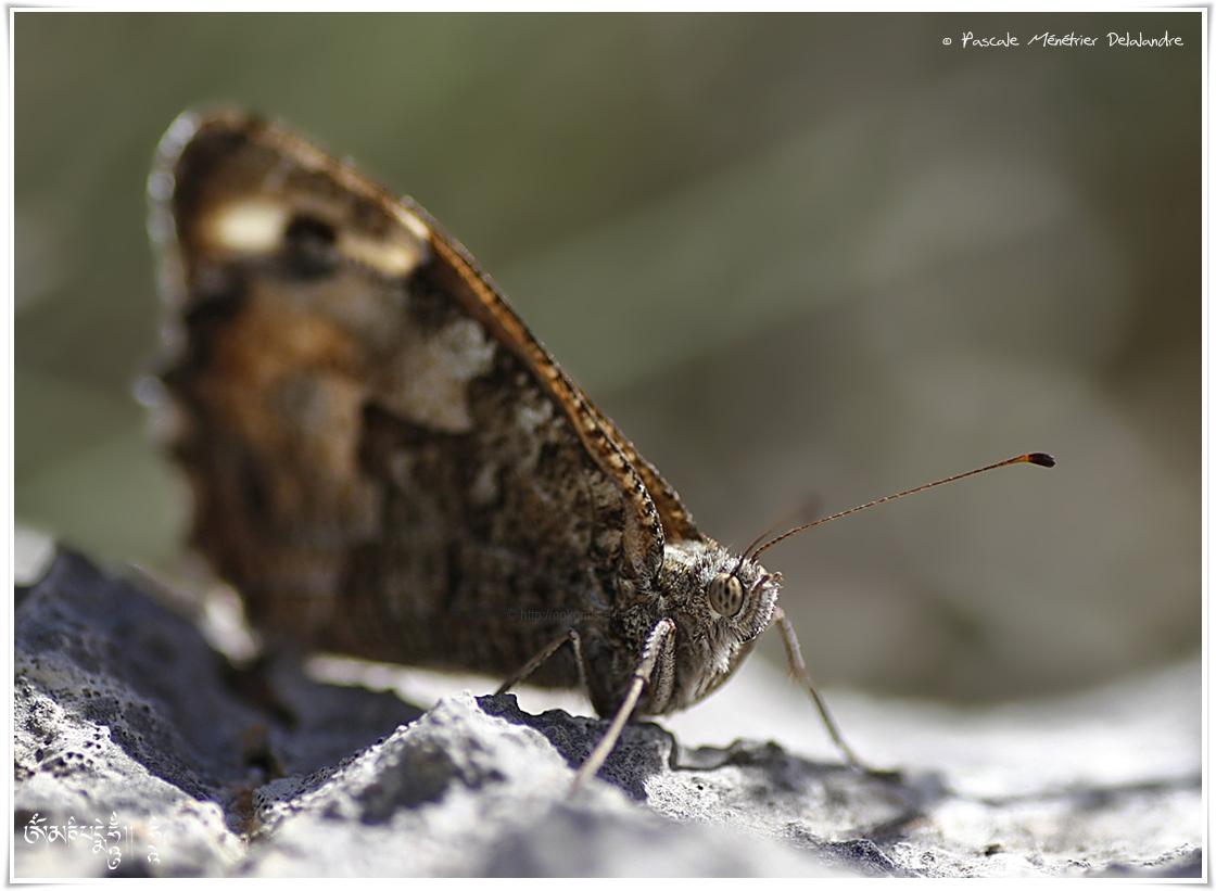 Siléne (Brintesia circe) - Nymphalidae