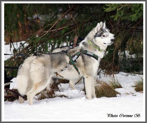 Huskys à la neige (20 décembre 2017)