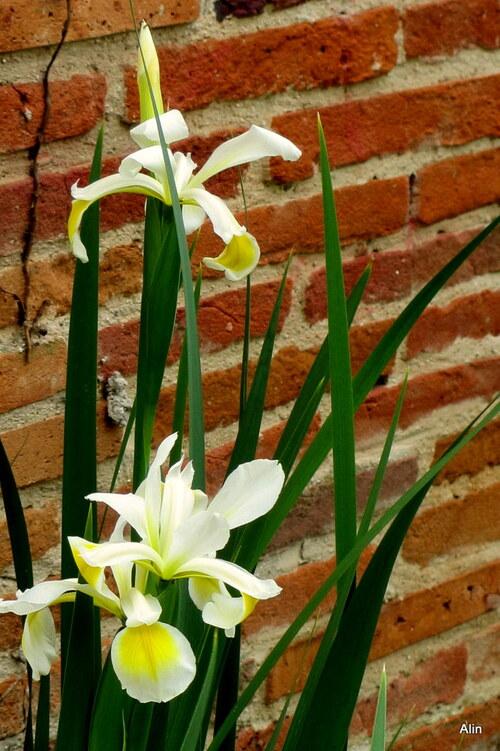 Les iris tardifs