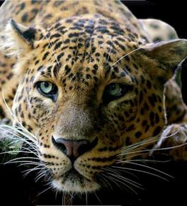 Tubes Animaux sauvages : Thème Les félins