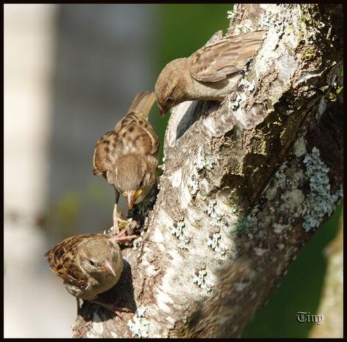 oiseaux de chez nous : les moineaux
