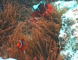 Plongee-Mickaelmas-Cay-0--40-.jpg