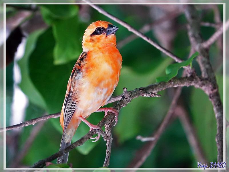 Foudi rouge, Red Fody, mâle en livrée orange (Foudia madagascariensis) - Nosy Tsarabanjina - Archipel Mitsio - Madagascar