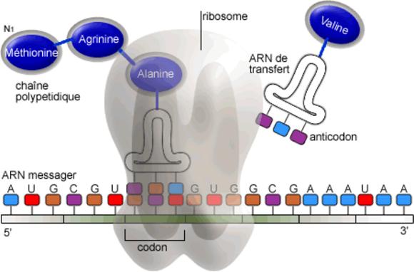ARN, acides aminés et protéines