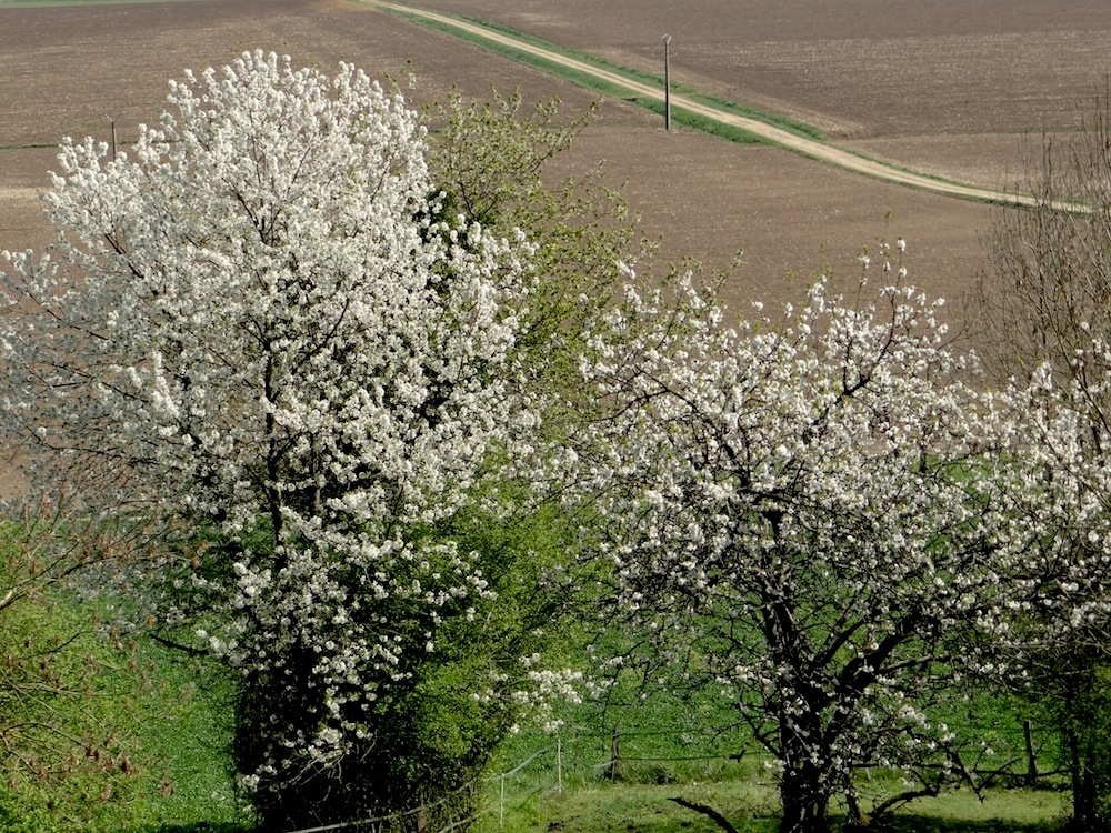 le cerisier en fleurs blanches mais personnellement j aime mieux le cerisier rose
