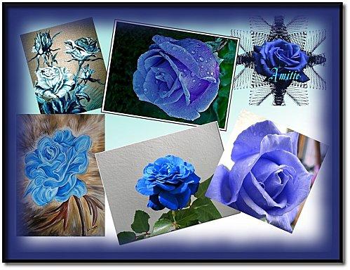 montage-roses-bleues.jpg