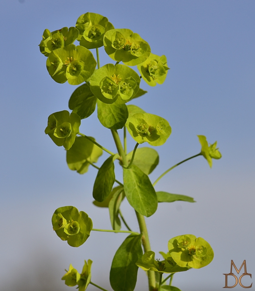 EUPHORBE à feuilles d'amandier