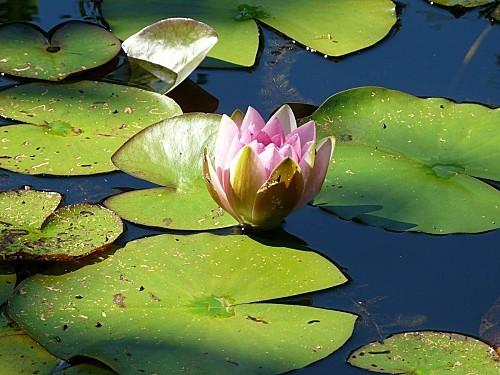 Jardin-du-Prahor-8-08-12--Nympheas--P1290988.JPG