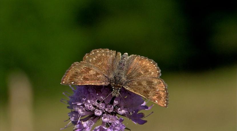 Les papillons de l'été (3) Le demi-deuil