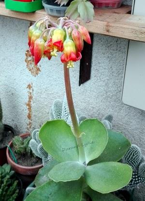 Cotyledon Orbiculata Macrantha en fleur