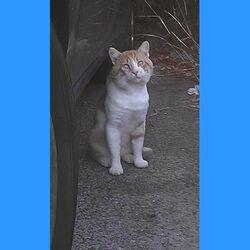Trouvé chatte blanche tachée grise à Montpellier