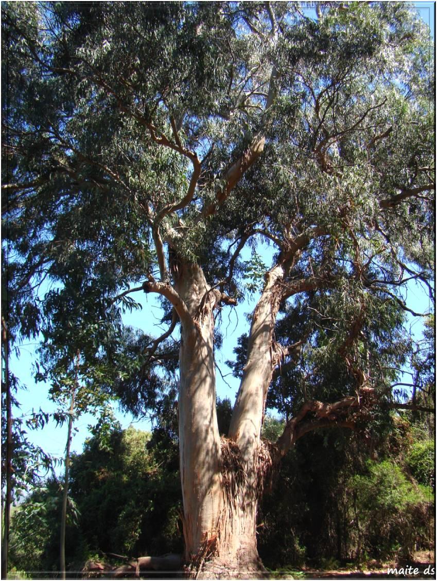 Eucalyptus bleu