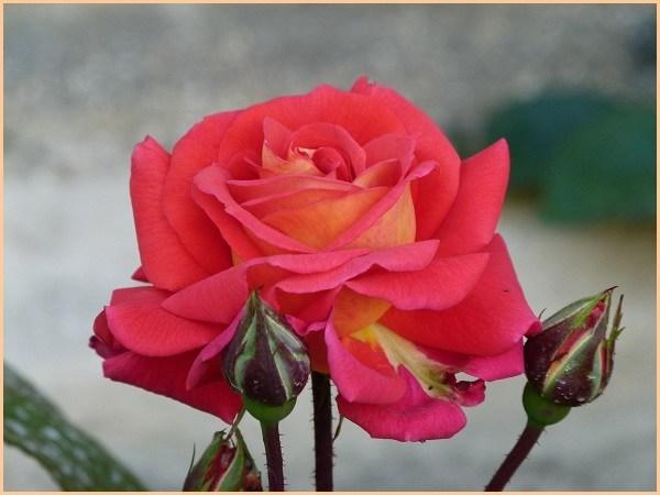 rosier3