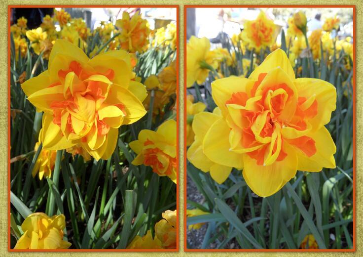 Des tulipes mais pas que... (2)