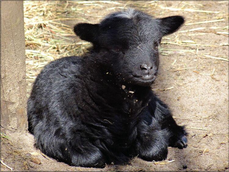 Agneau (mouton d'Ouessant) de 13 jours