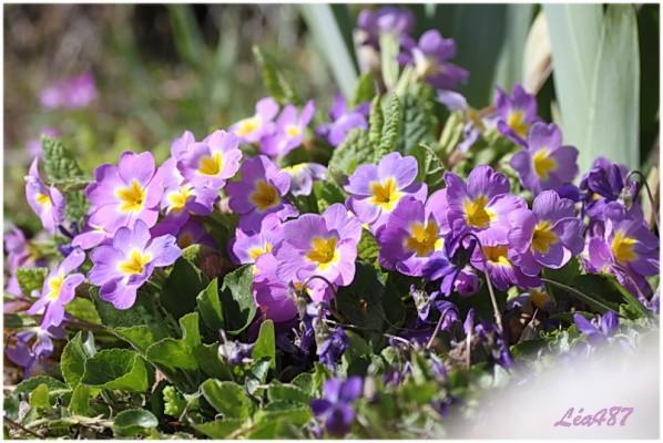 Fleurs-2-3726-primeveres-et-violettes.jpg