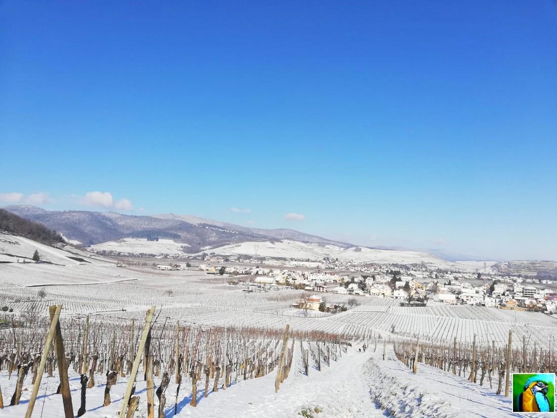 Un 10 février en Alsace, dans les vignes.