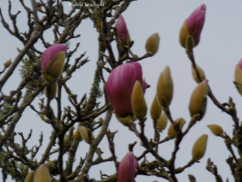 Une balade fleurie dans mon village, le 1er février....