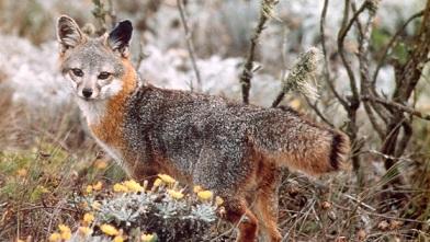 Le renard gris ...
