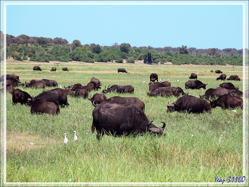 Buffle noir, African buffalo (Syncerus caffer) - Safari nautique - Parc National de Chobe - Botswana