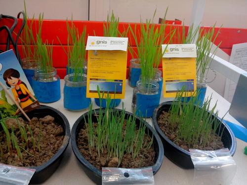 * Réaliser des semis (blé,maïs,orge)