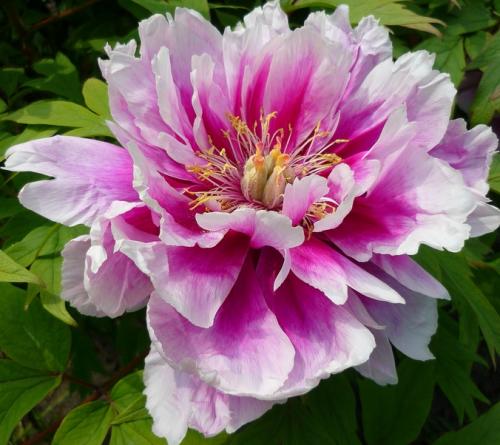 Tube fleur, tube pivoine