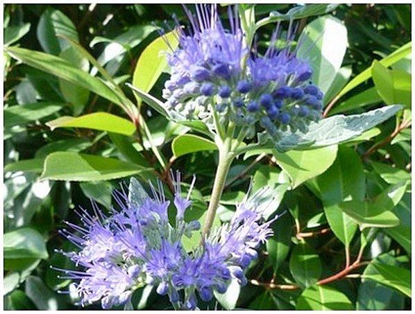 fleurs-bleue23.jpg