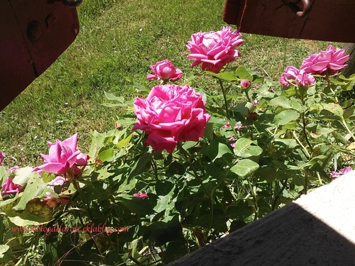 Nuits embaumées de roses/ Nights with the perfume of roses