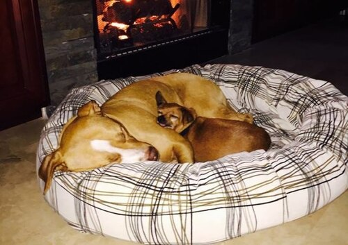 (-*♥*-) Lâchement abandonnée, ce pitbull a trouvé le réconfort chez un chihuahua et depuis, ils ne se quittent plus.