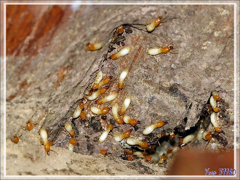 Termites - Nosy Be - Madagascar