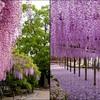 Jardin-Fleur-Glycine-02.jpg
