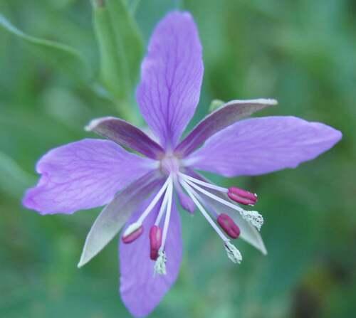 Fleurs cultivées : Epilobe