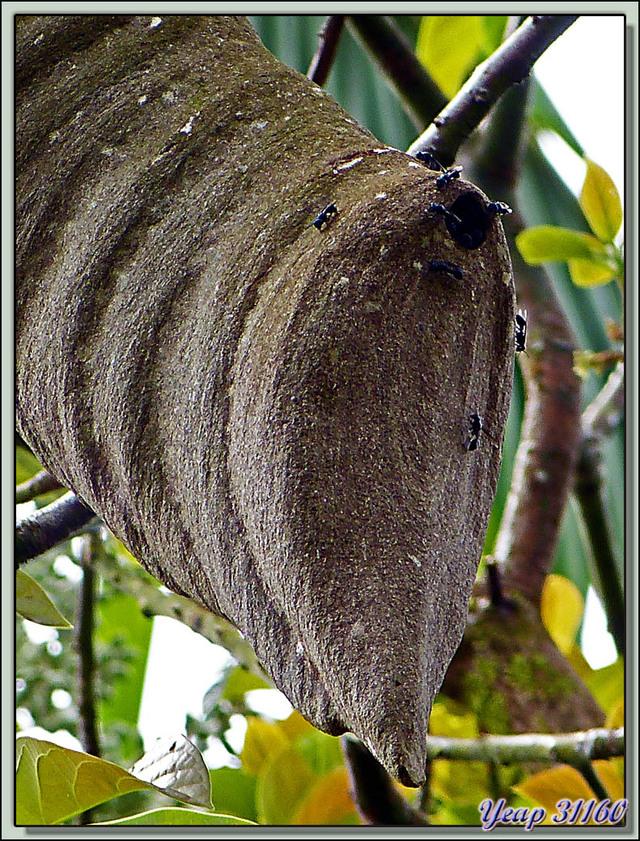 Blog de images-du-pays-des-ours : Images du Pays des Ours (et d'ailleurs ...), Original nid de guêpes tout en haut d'un arbre - Tortuguero - Costa Rica