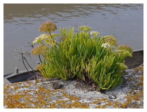 herbe marine