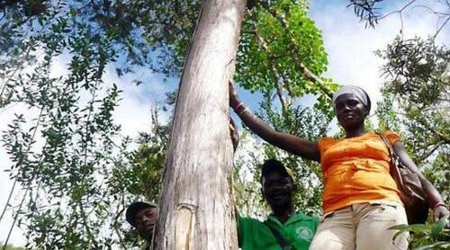 L'arbre rare d'Haïti sauvé à Brest