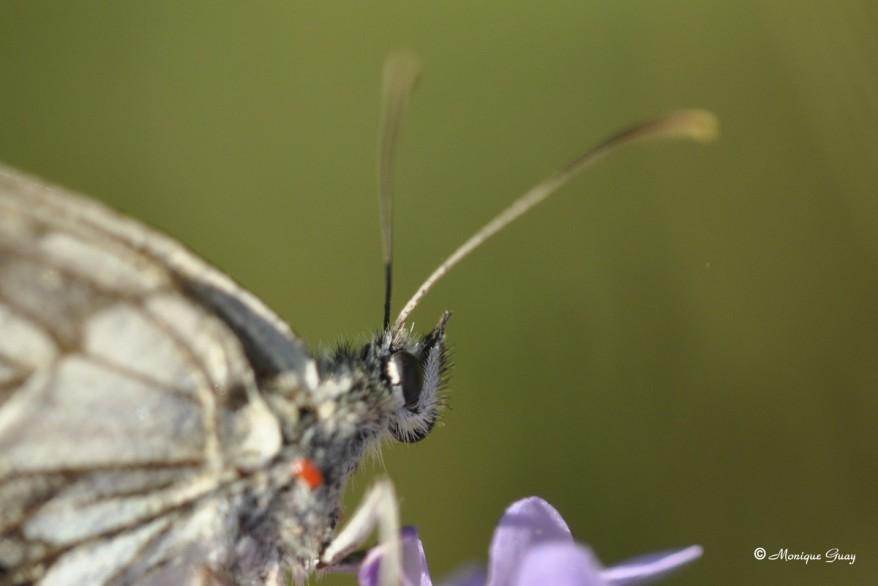papillon-demi-deuil-1387.jpg