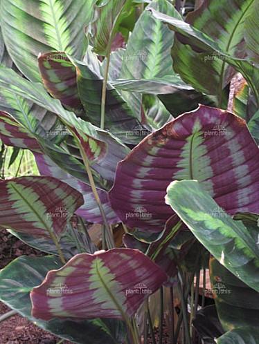 Calathea-lindeniana-1