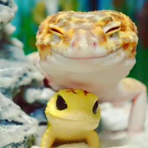 (-*♥*-) Un gecko ne cesse de sourire en recevant un jouet qui lui ressemble  (-*♥*-)