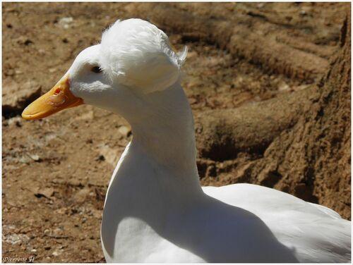 Canard à pompon blanc