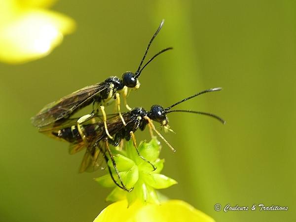 Couple de Cephus pygmaeus