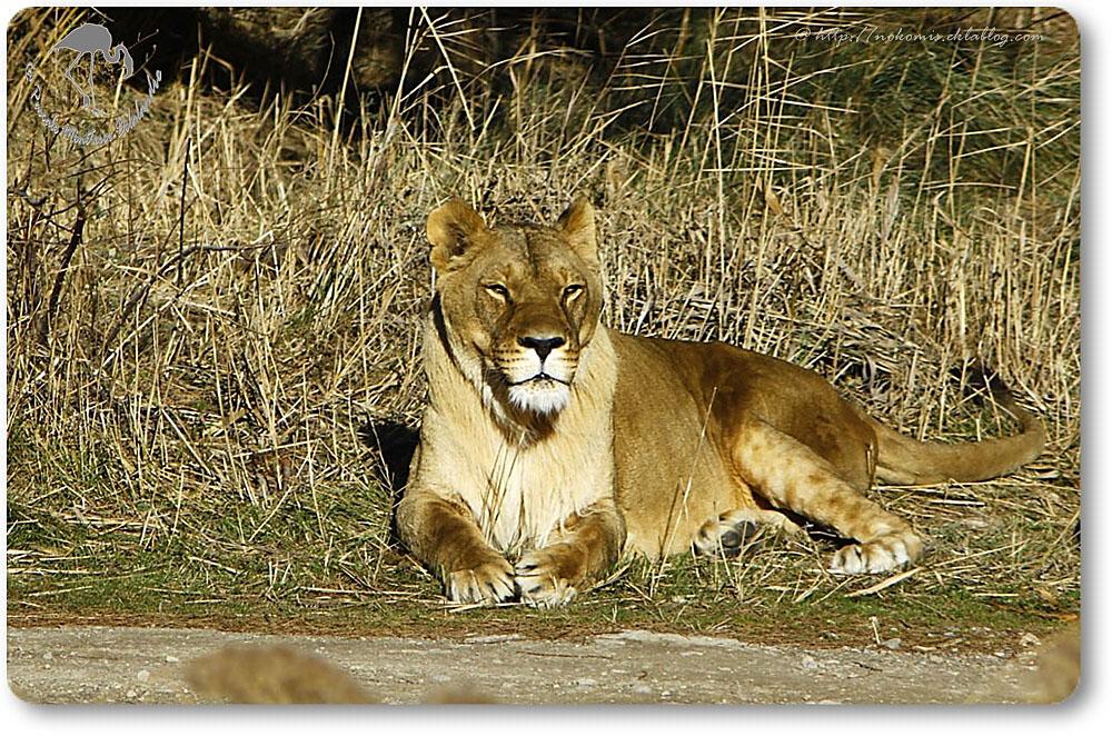 Jeune lion mâle (Panthera leo)
