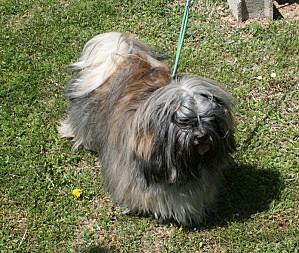 lhassa-apso---chien 1039.b