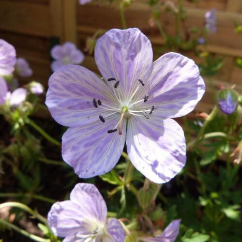geranium-mrs-kendall-clark.jpg