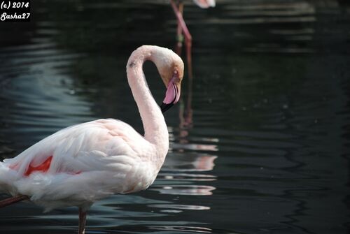 Flamant Rose.