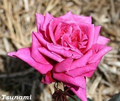 Les Roses de Warren : Tsunami