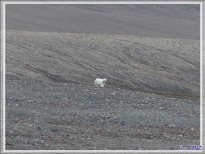 Notre premier ours blanc (Polar bear) de la journée - Peel Sound - Prince of Wales Island - Nunavut - Canada