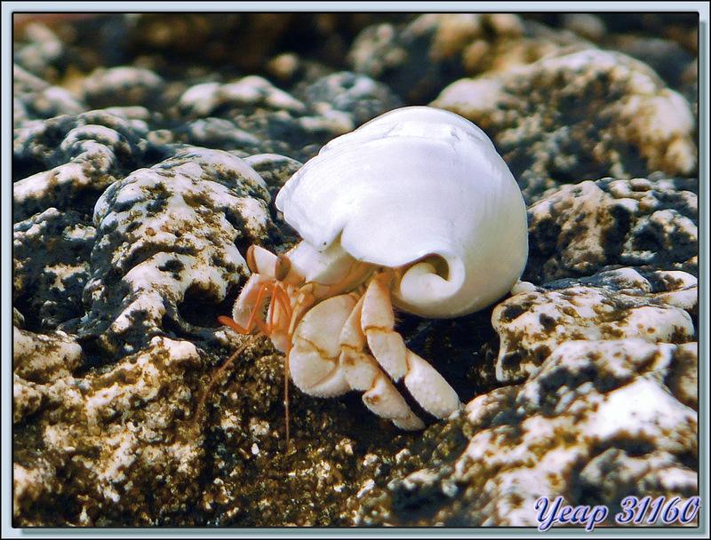 Bernard-l'ermite (ou l'hermite) - Avatoru - Rangiroa - Tuamotu - Polynésie française