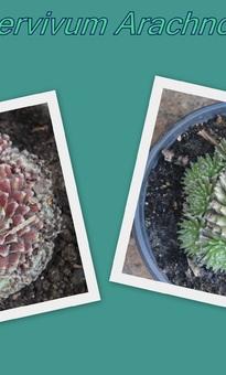 Sempervivum Arachnoideum - Le vert et le rouge - 2 variétés