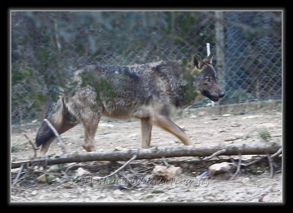 Loups ibériques (Parc zoologique du Lunaret - Montpellier)